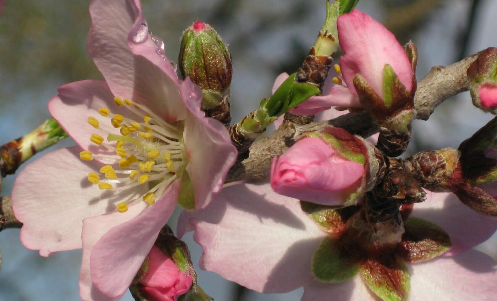 Mandelblüte Close up